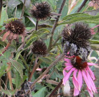 Don't Cut Those Coneflowers Down!