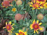 Grow Gaillardia Around Your Trees