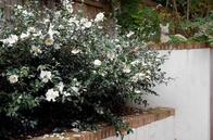 CAMELLIA PLANTS: ADD BEAUTY AND COLOUR TO YOUR GARDEN