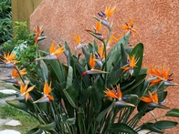 The Right Way to Take Care of Your Tropical Bird of Paradise Plant