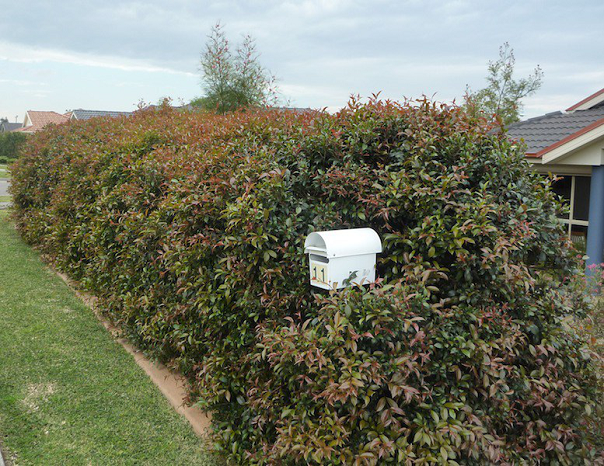 Fast Growing Australian Native Hedge Enclose And Screen Your Private World