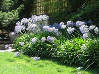 All the Details Regarding Planting and Growing Agapanthus