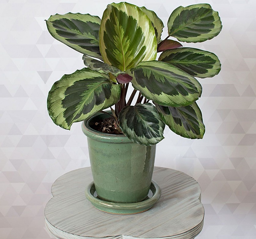 Calatheas are grown for their attractive and quite