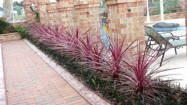 Pink_cordyline_plants